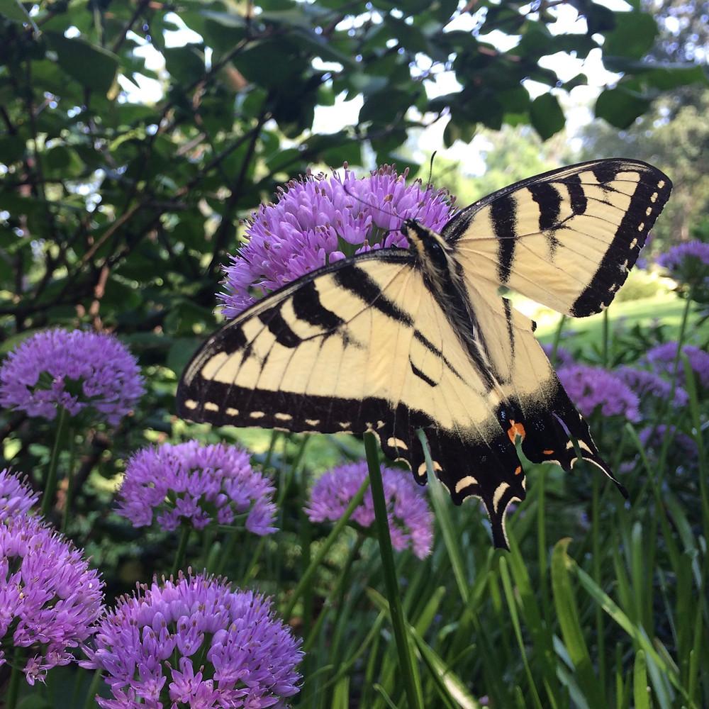 Attracting Butterflies with Allium