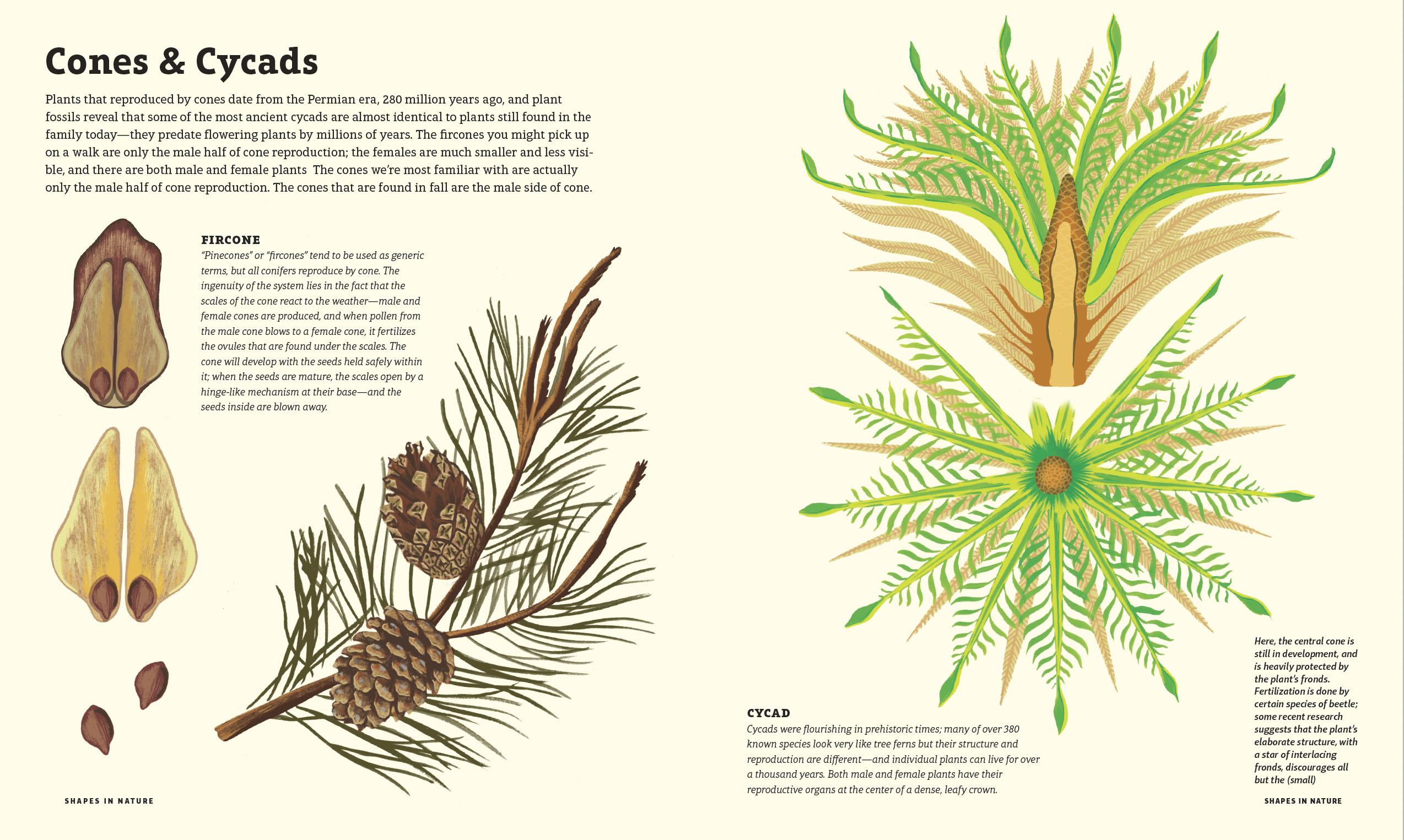 Cones & Cycads illustration