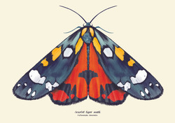 Scarlet_moth[300dpi]