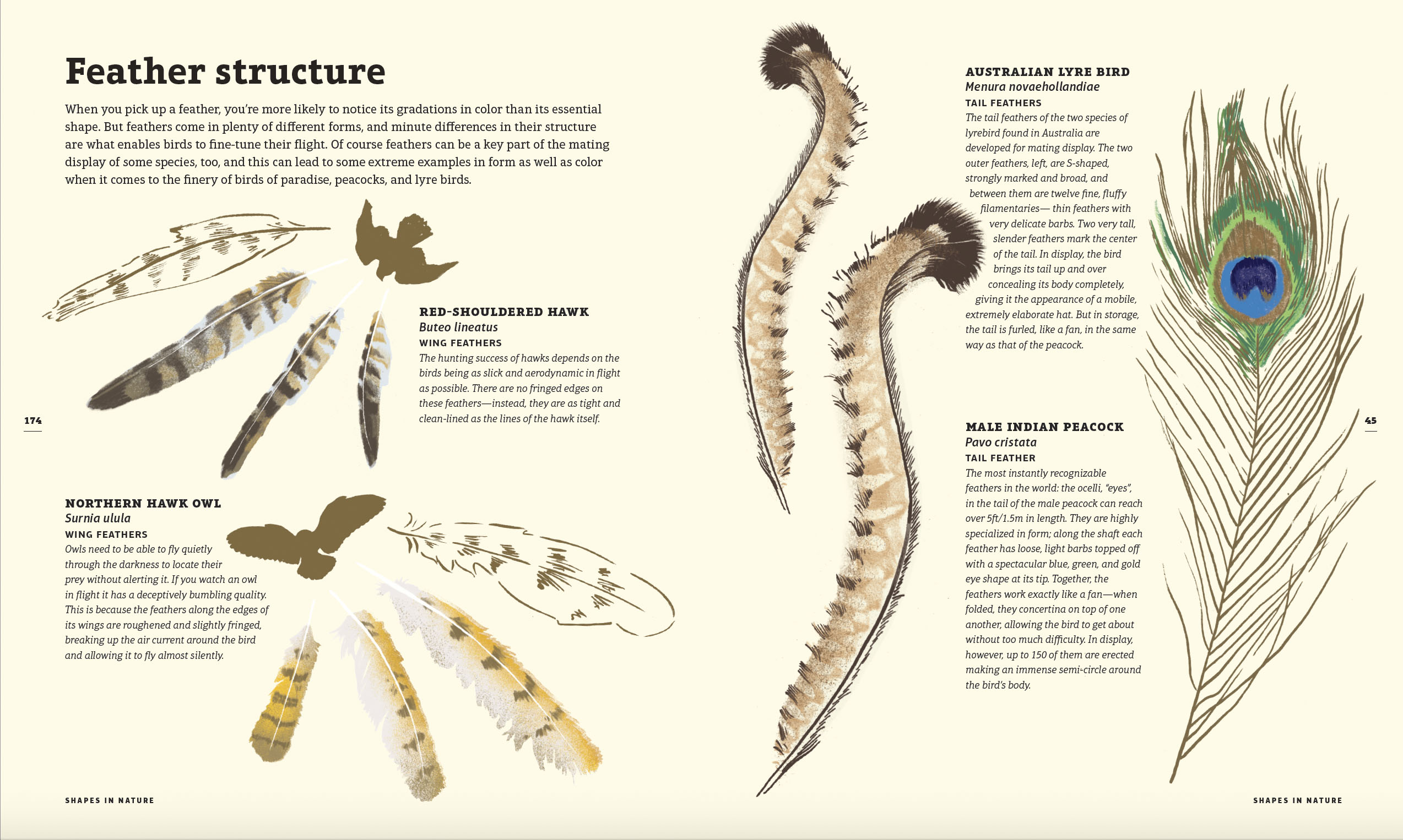 Feather structure illustration