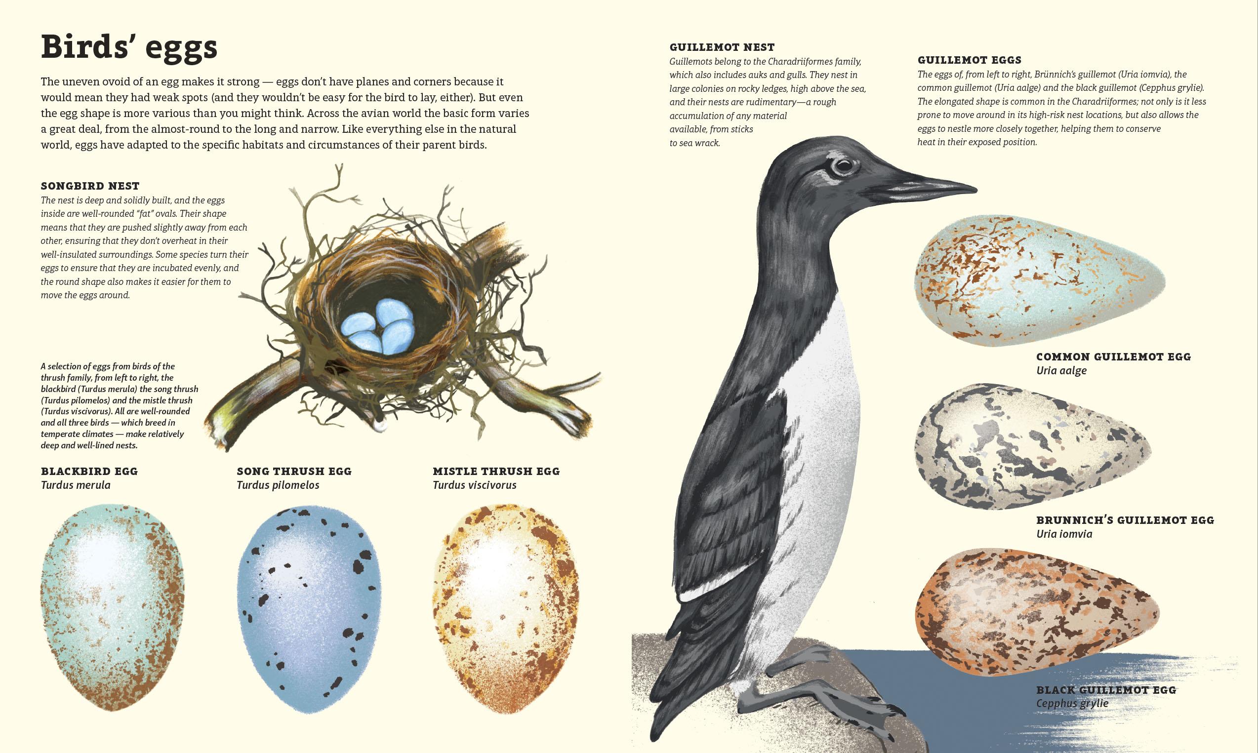 Bird's eggs illustration