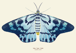 Blue Tiger Moth