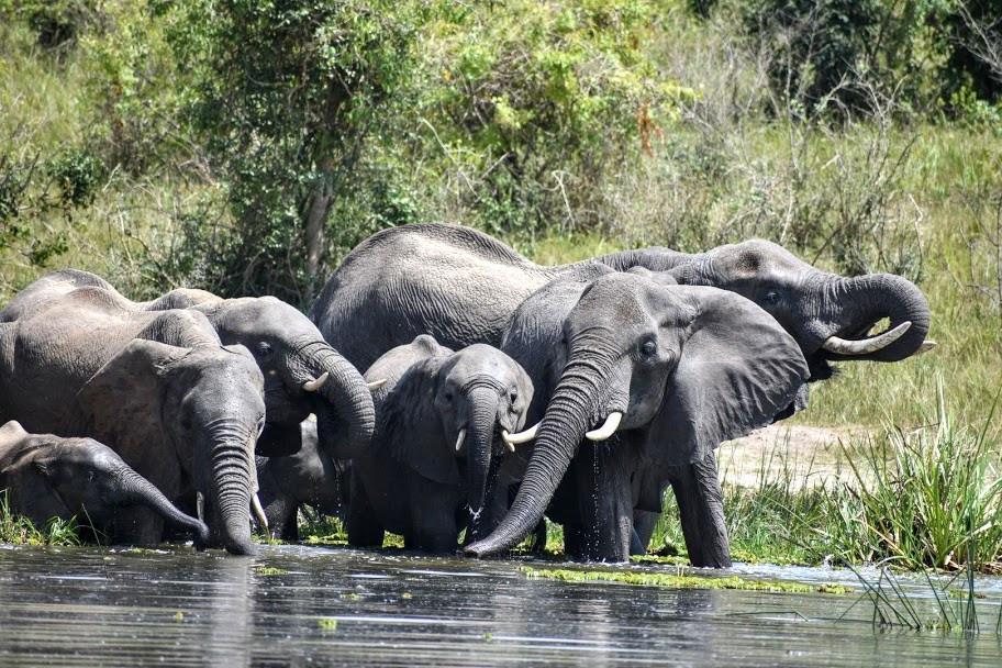 Elephants, murchison falls, nile, alakara reiser, uganda