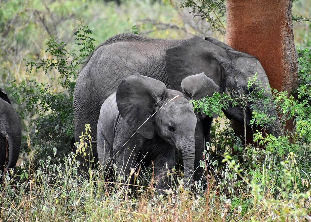 Murchison Falls national park, uganda wildlife authority, elephants, alakara reiser, conservation