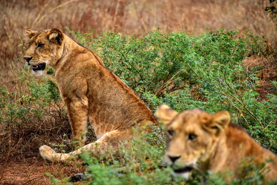 Lions, uganda, murchison falls, alakara reiser