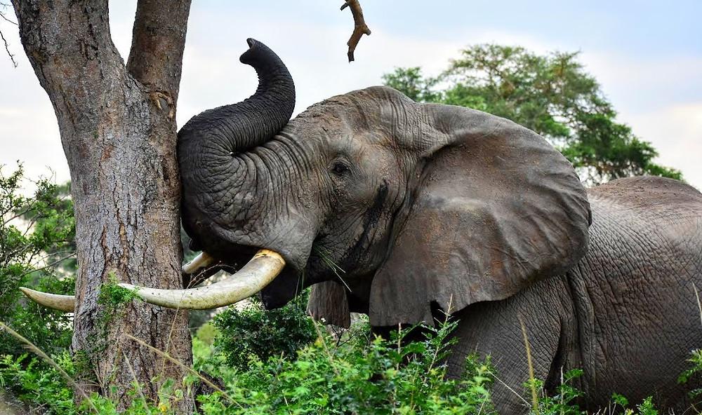 elephant, tusks, uganda, uwa, alakara reiser