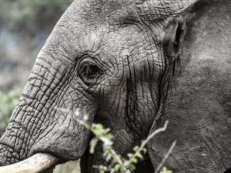 Med livet som innsats for elefanter og løver
