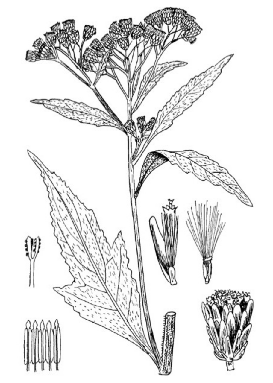 Neurolaena lobata nom scientifique :  Neurolaena lobata (L.) Cass. Famille : ASTERACEAE