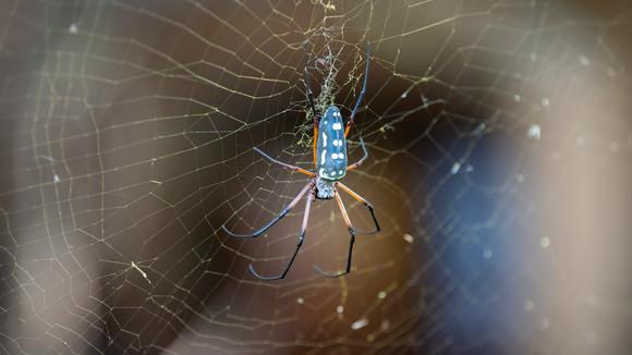 Black Legged Golden Orb Spider
