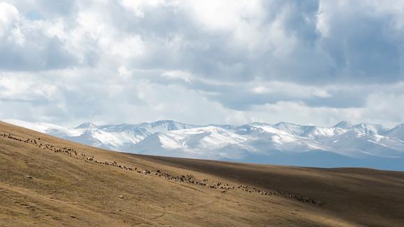 Sheep Herd at Lake Song Kol