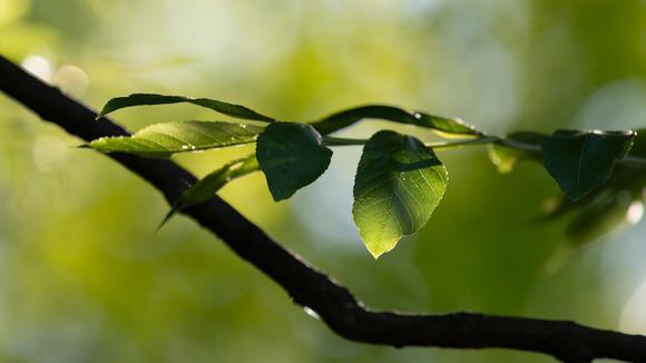 Tree Branch & Leaves