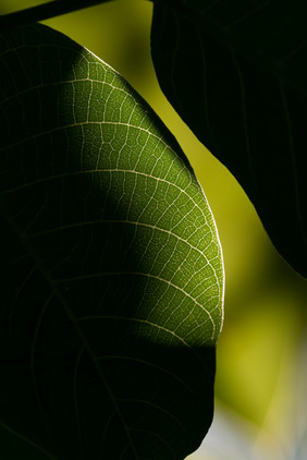 A Leaf's Veins.jpg
