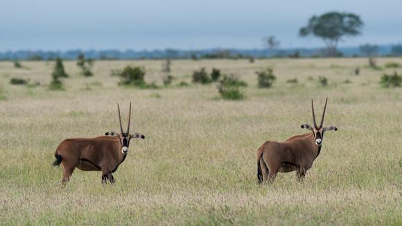 Oryx Antilopes