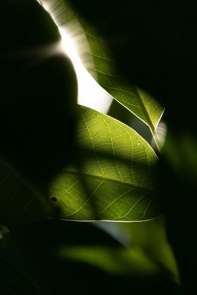 A Leaf's Veins