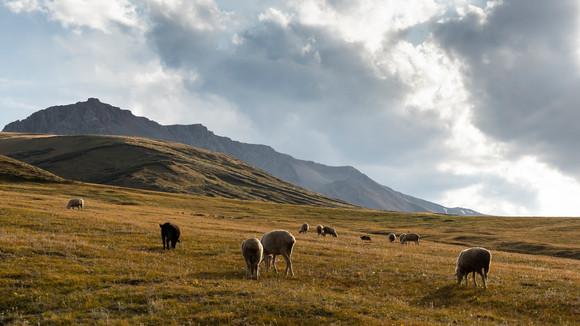 Sheed Herd