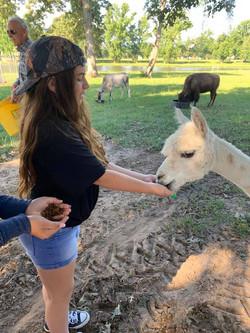 Feeding Llamas | Airbnb | The Williams Ranch | Huntsville, TX