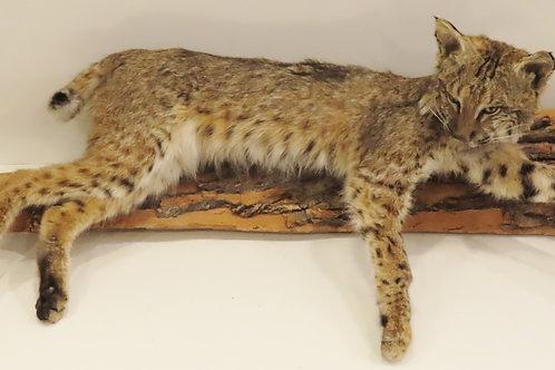 Laying Bobcat