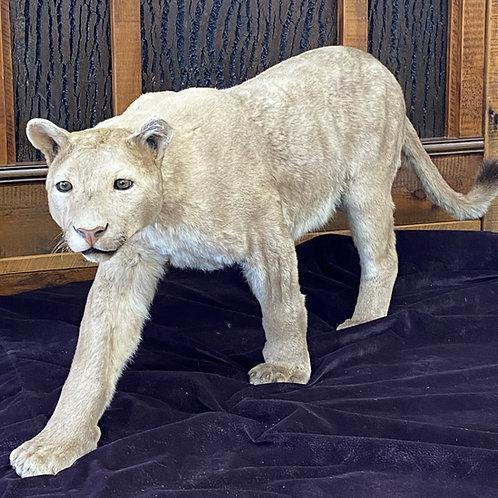 Mountain Lion -- Walking