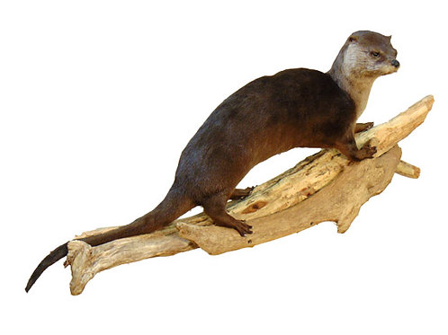 Walking Otter Life Size Taxidermy Mount on Driftwood For Sale