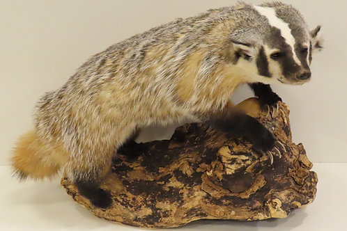 Badger on Driftwood