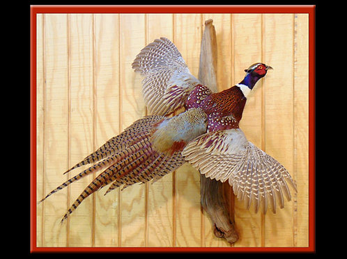 Ring-necked Pheasant Flying Taxidermy Mount