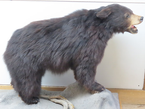 Medium Black Bear