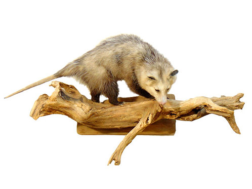 Wall Mount Opossum taxidermy for sale