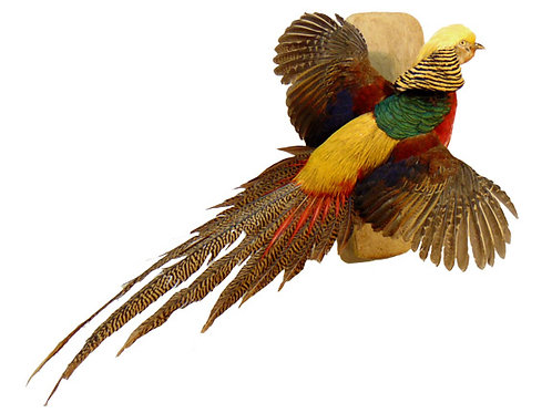 Golden Pheasant Flying Taxidermy Mount