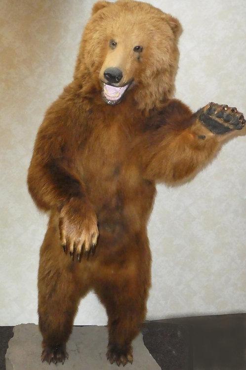 Life size Coastal Brown Bear Taxidermy Mount