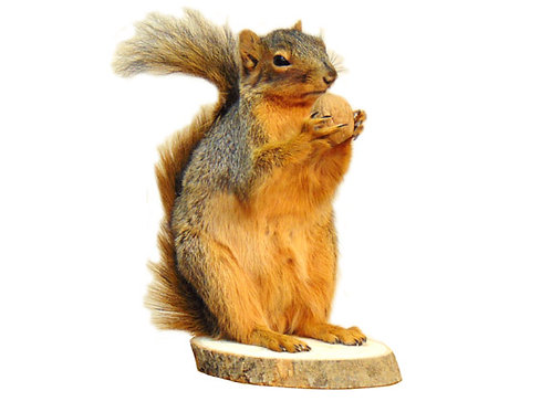 Standing Squirrel Taxidermy Mount For Sale Holding Nut
