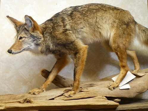 Coyote on Driftwood Taxidermy