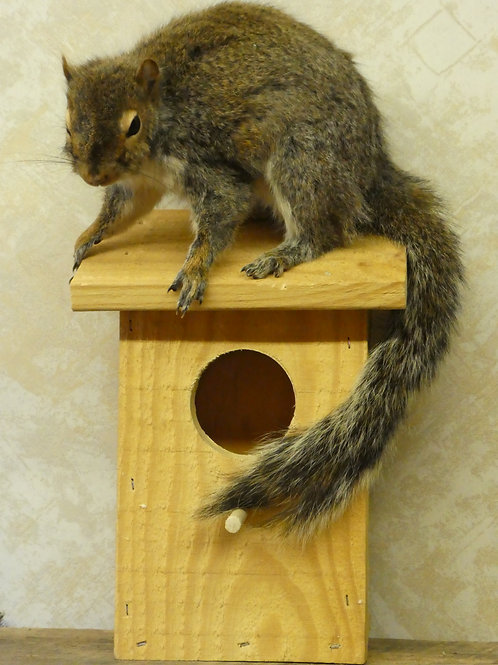 Squirrel On Birdhouse Taxidermy Wall Mount For Sale