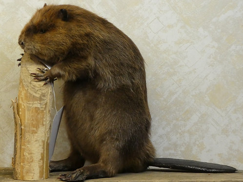 Beaver Chewing on Log Taxidermy