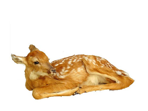 Laying Fawn Taxidermy Mount For Sale