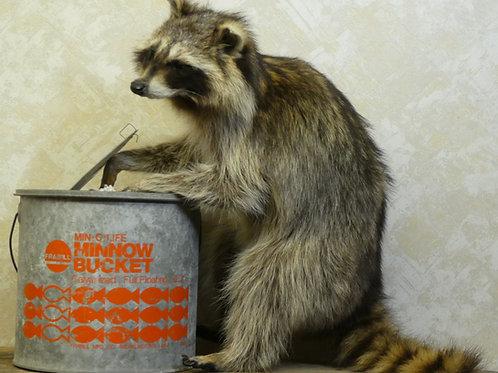Minnow Bucket Raccoon Taxidermy