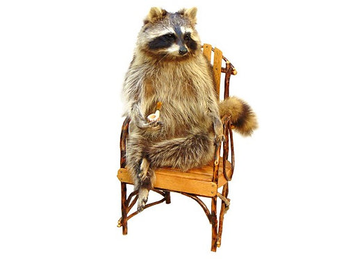 Seated Raccoon Taxidermy Mount for Sale