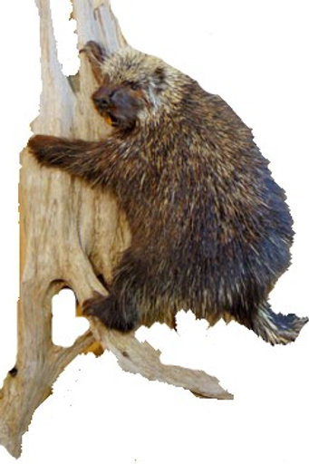 Porcupine Taxidermy Mount
