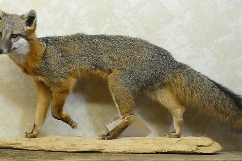 Grey Fox Walking on Driftwood Taxidermy