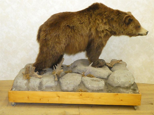 Small Russian Brown Bear Taxidermy Mount