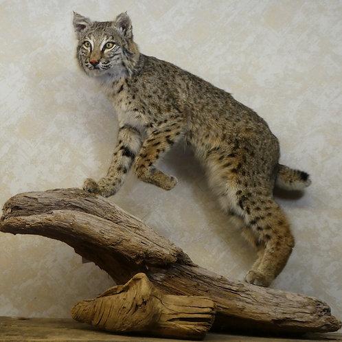 Bobcat Walking on Driftwood Taxidermy