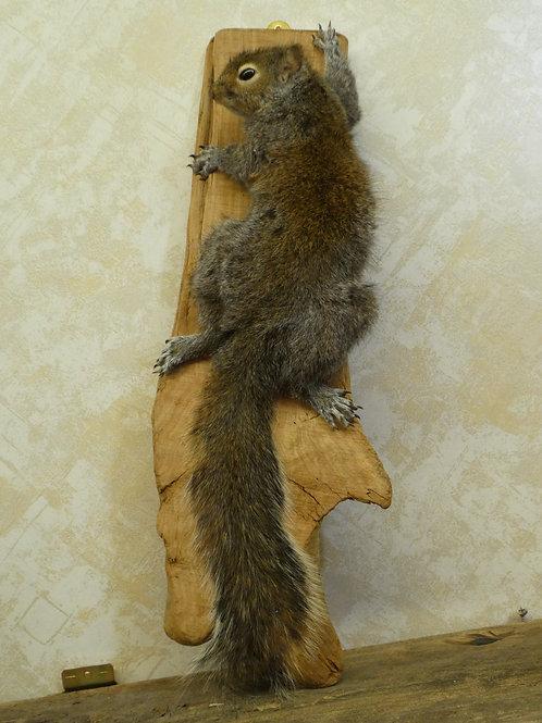 Grey Squirrel Climbing Taxidermy