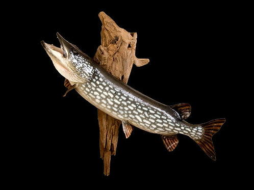 Northern Pike Taxidermy