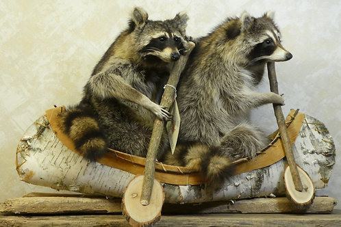 Double Canoeing Raccoon Taxidermy