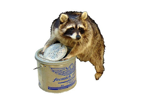 Raccoon with antique minnow pail taxidermy mount for sale
