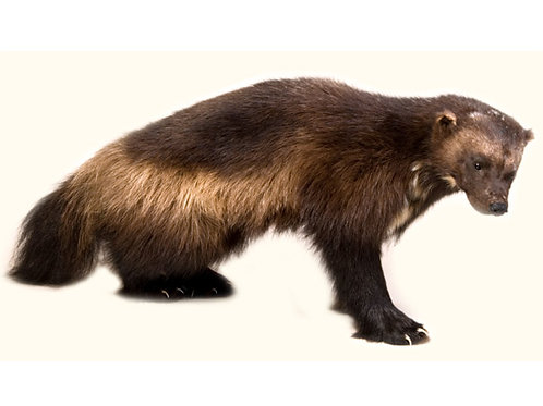 Wolverine Taxidermy Mount