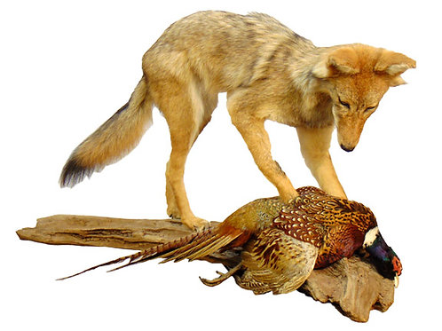 Standing Coyote with Ring-necked Pheasant Dead Mount Taxidermy For Sale
