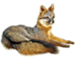 resting-gray-fox-wht.jpg