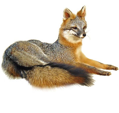 resting-gray-fox-wht.jpg