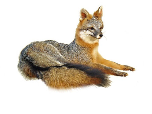 Laying Gray Fox Taxidermy Mount