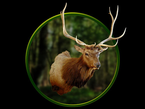 Elk Shoulder Mount Taxidermy For Sale